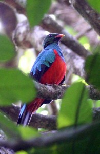 Pavonine Quetzal, Pharomachrus pavoninus at Cristalin Jungle Lodge by Rich Hoyer