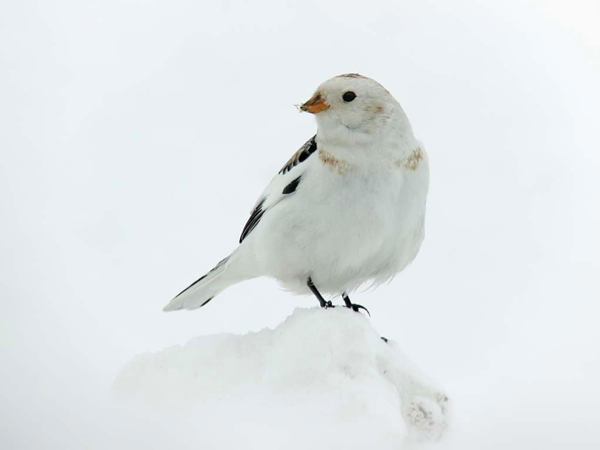 Post image for Snow Buntings in a suit