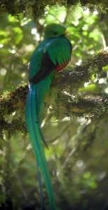 Resplendent Quetzal, Pharomachrus mocinno in Costa Rica by Rich Hoyer