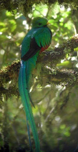 Resplendent Quetzal, Pharomachrus mocinno in Costa Rica by Rich Hoyer
