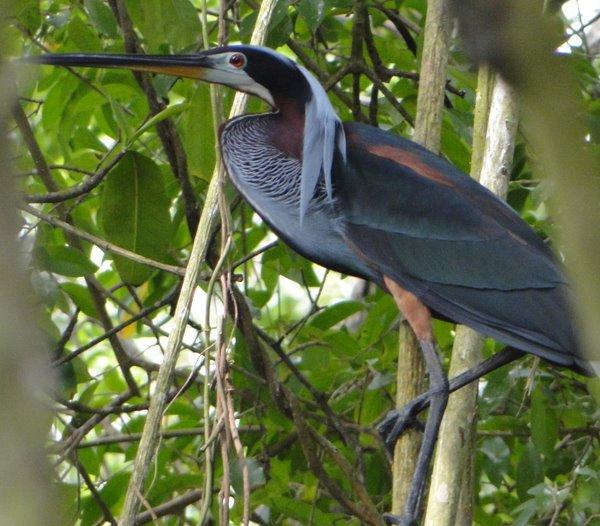 Agami Heron 2 - Luis Francisco Cortés-1
