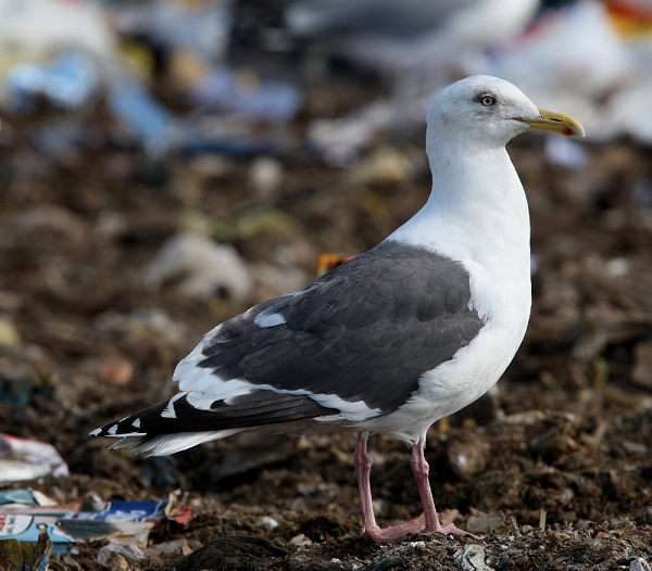Post image for Slaty-backed Gull in Britain?