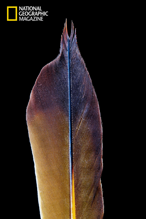 Tail feather, assists in climbing Institute of Zoology and Zoological Museum, University of Hamburg