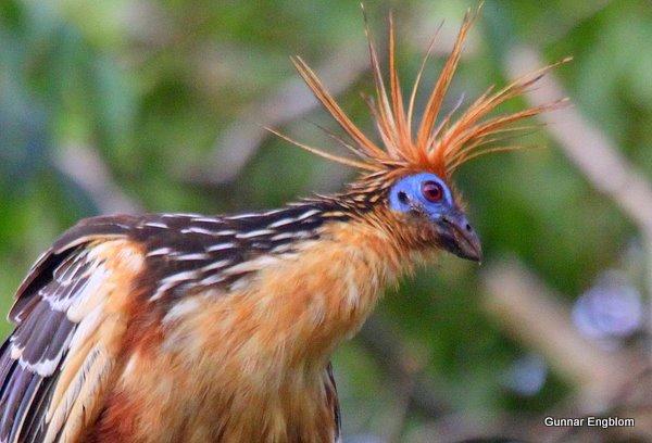 Hoatzin Opisthocomus hoazin. Photo: Gunnar Engblom