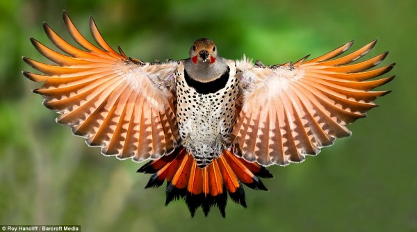 Northern Flicker - Roy Hancliff