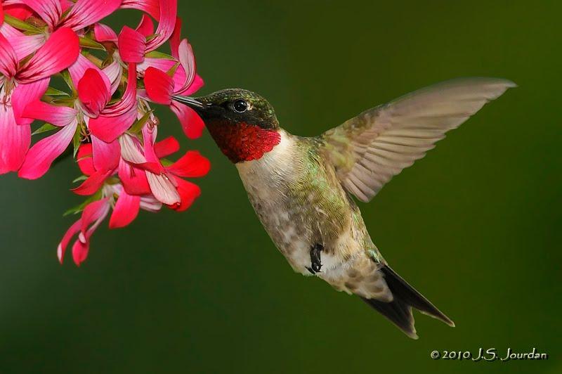 rubythroatedhummingbird