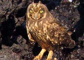 A Short-eared Owl on the WINGS Birding Tour in the Galapagos