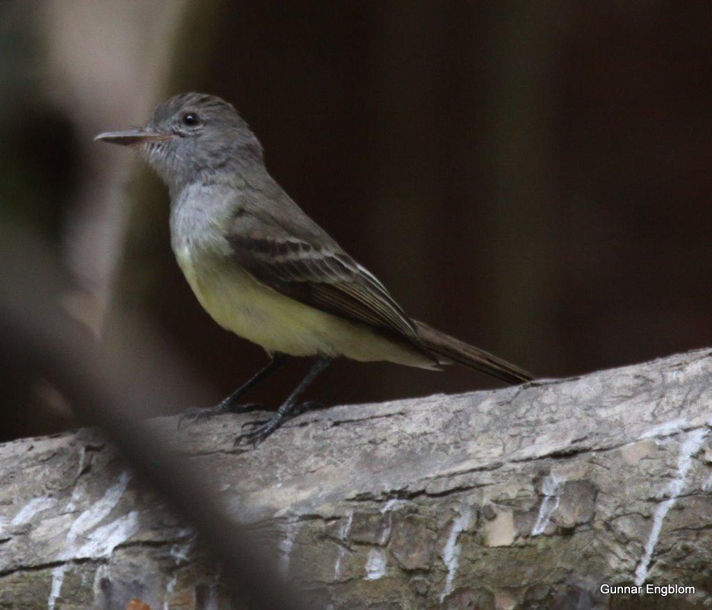 Mystery Myiarchus - Venezuelan or Panama Flycatcher