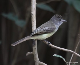 Mystery Myiarchus Flycatcher from Isla Palma, Colombia. Photo: Gunnar Engblom