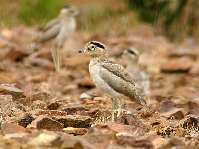 Peruvian Thick-knee Burhinus superciliaris. Photo: David Cook
