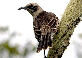 Thumbnail image for San Cristobal Mockingbird – A Single Island Endemic.