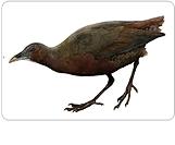 Tsingy Wood-Rail Mentocrex beankaensis