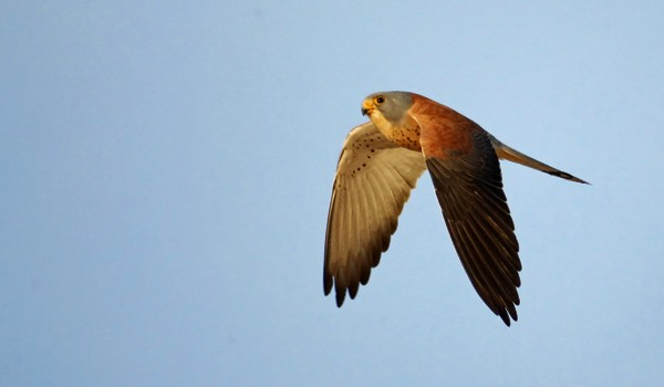 Post image for Digiscoping Lesser Kestrels in Trujillo, Extremadura