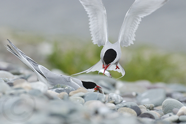 Post image for 'Tirrick' Tern Gallery