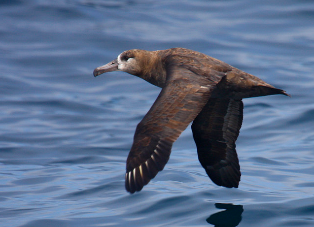 Black-footed Albatross. © Chris West