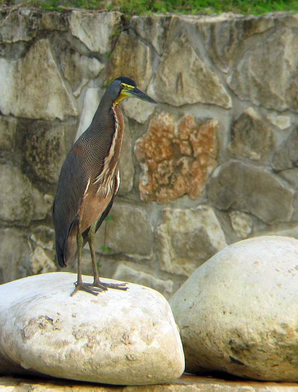 Post image for Palenque, Mexico – Birding the Maya Ruins