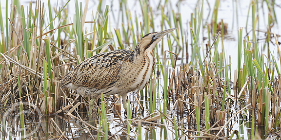 Post image for Naked Bittern Exposed