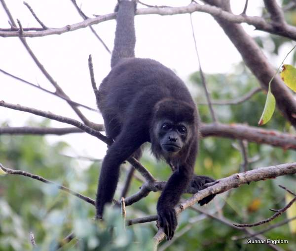 Black Howler Monkey Allouatta palliata