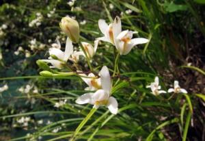 Bletia tenuifolia
