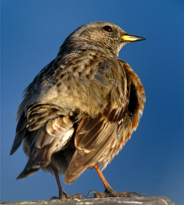 Post image for Alpine Accentors (Prunella collaris) in Tirol