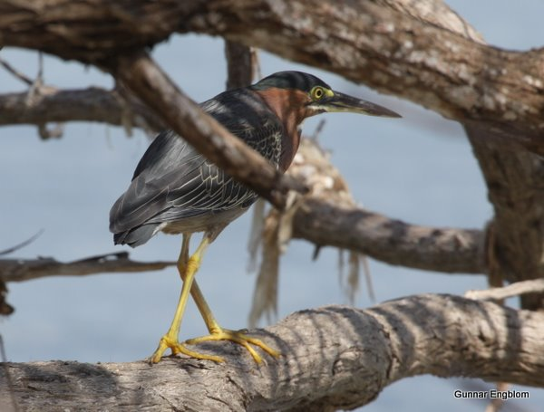 Green Heron Butorides virescens. Photo: Gunnar Engblom