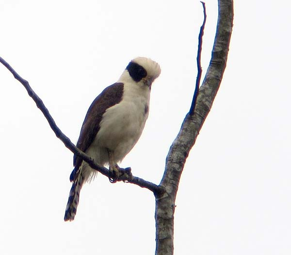 A Laughing Falcon on the WINGS Tour to the Chiapas Lacandon Rainforest with Rich Hoyer