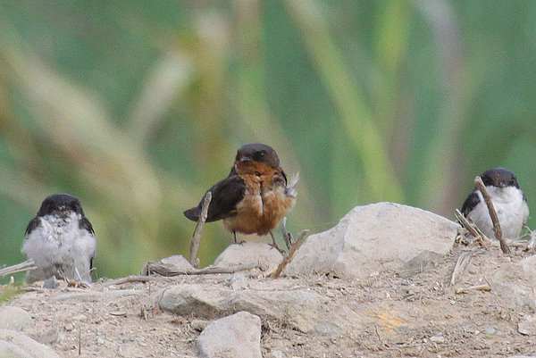 Un-identified Swallow in Lima. Photo: Fabrice Schmitt.