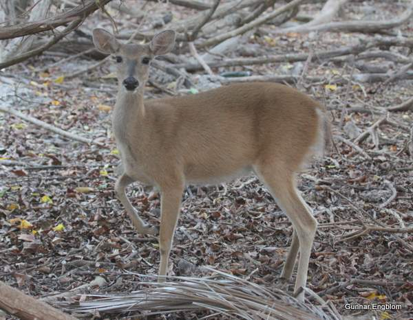 White-tailed Deer Odocoileus virginianus. Photo: Gunnar Engblom