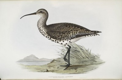 Post image for Goodbye Slender-billed Curlew?