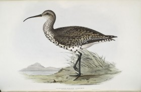 Thumbnail image for Goodbye Slender-billed Curlew?
