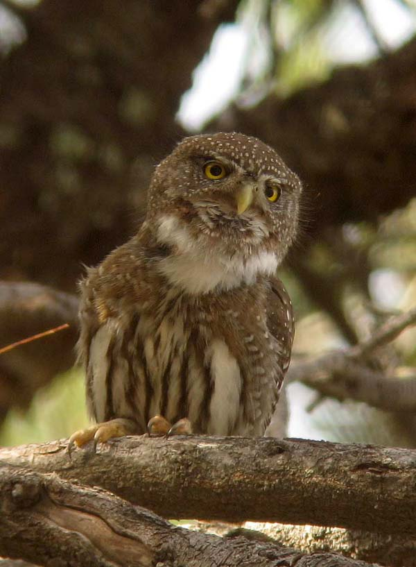 Post image for Digiscoping with an iPhone – Northern Pygmy-Owl and Greater White-fronted Goose