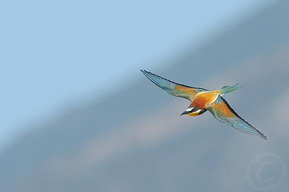 Bee-eater Rebecca Nason