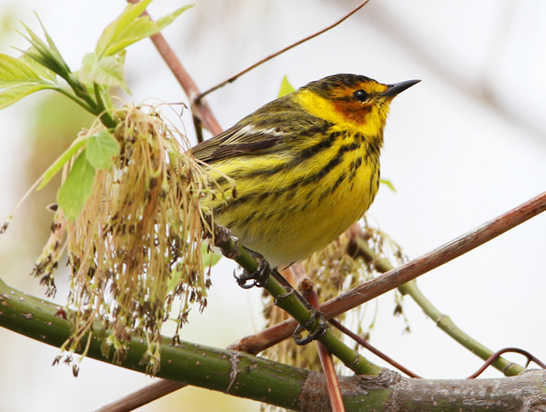 Post image for Dendroica Farewell: new classification for the American warblers.