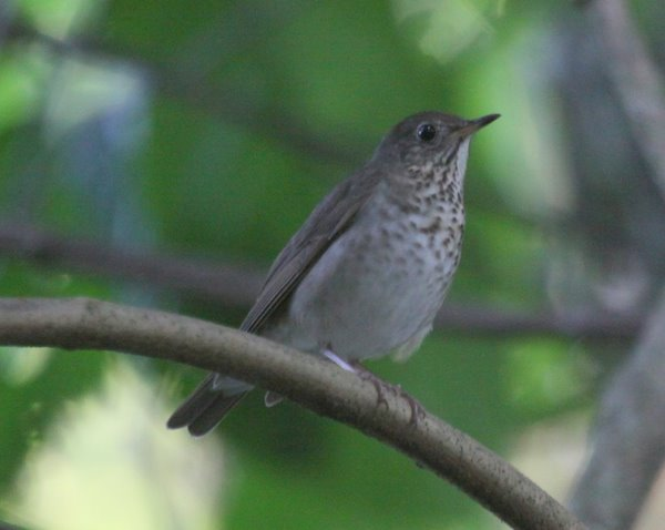 Catharus Thrush - ProAves El Paujil reserve -Colombia