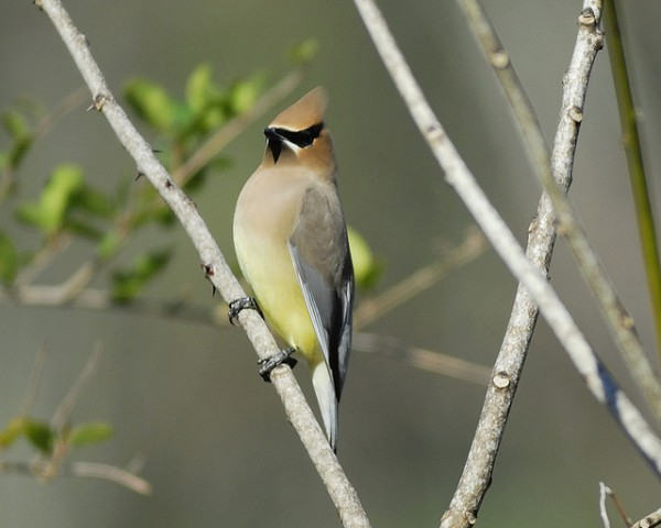 Cedar waxwing, Bombycilla cedrorum. Photo: Joseph Kennedy in Bear Creek Park, Texas in March 2010.