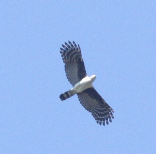 Gray-headed Kite - or what?