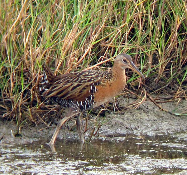 Post image for Fearless Marsh Birds at Anahuac National Wildlife Refuge, Texas