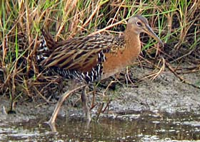 Thumbnail image for Fearless Marsh Birds at Anahuac National Wildlife Refuge, Texas