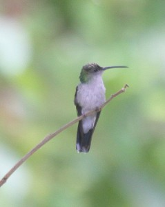 Mystery Hummer Santa Marta Sabrewing or Plumeletee