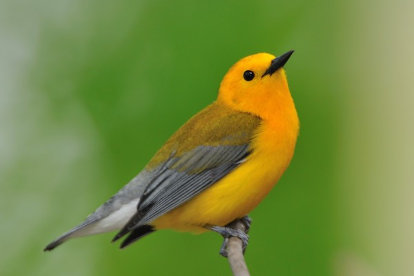 Prothonorary Warbler Naathas