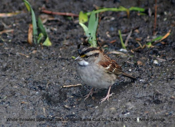 White-throated sparrow, <em>Zonotrichia albicollis</em>. (TS morph)