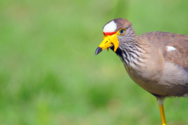 African Wattled Plover Lapwing