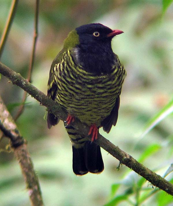 A Barred Fruiteater on the Manu Road, Peru
