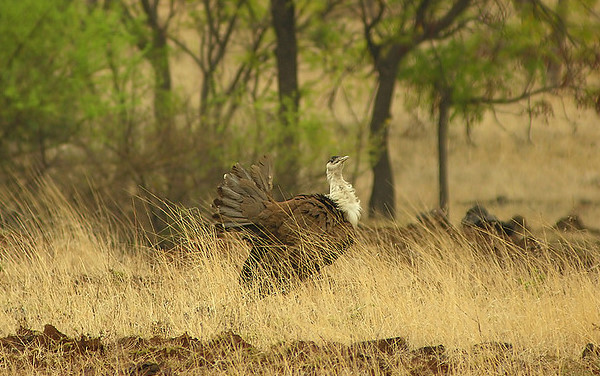 Great Indian Bustard.