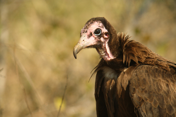 South Africa's 8 Vultures