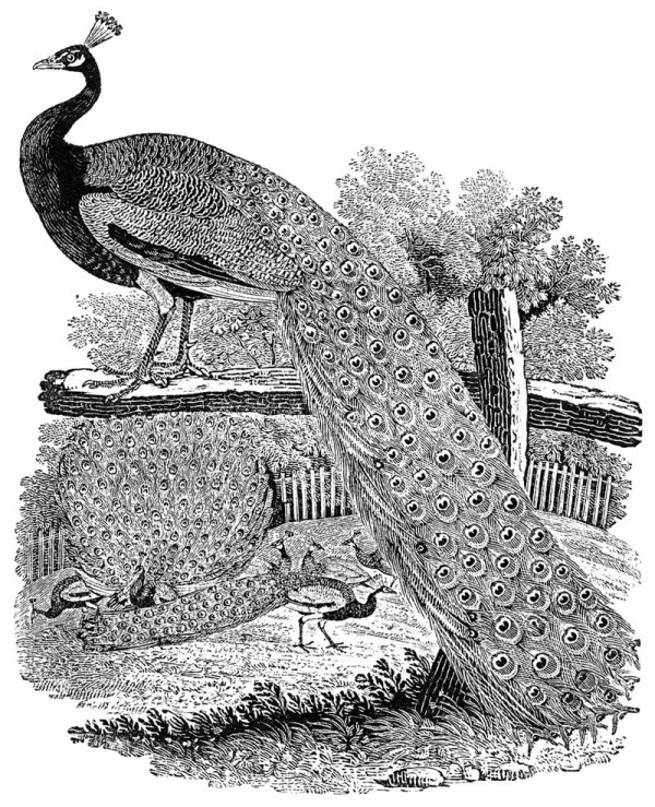 The image of a peacock is from A History of British Birds, Volume I (On Land Birds).
