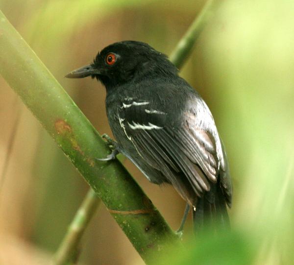 Black-tailed Antbird Yanayacu