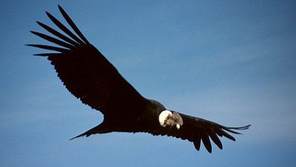 Andean Condor Vultur gryphus. Wikipedia
