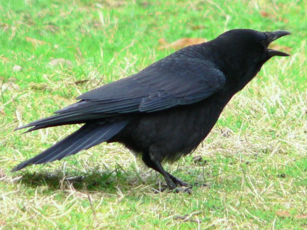 An American or northwestern crow (either Corvus brachyrhynchos or C. caurinus) near the end of Ravenna Creek slough adjacent to the Burke-Gilman Trail on the University of Washington campus, Seattle, WA.  Image: Walter Siegmund (Creative Commons Attribution-Share Alike 3.0 Unported license).