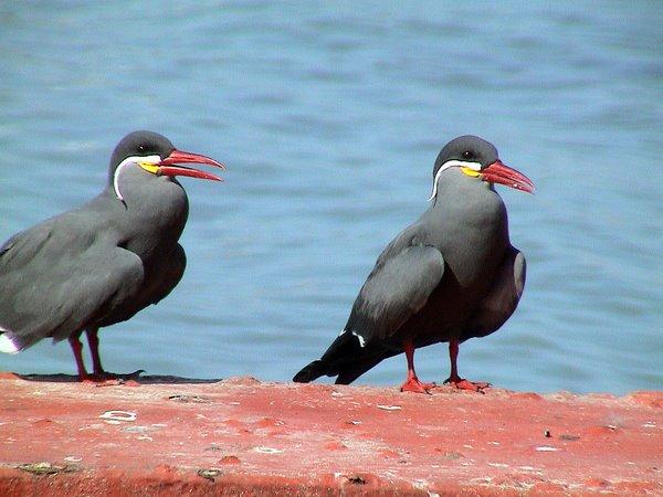 Inca Tern - Lima Pelagics. Photo: Gunnar Engblom